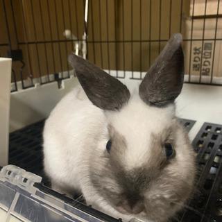 【最終値下げ】ネザーランドドワーフの赤ちゃんウサギ