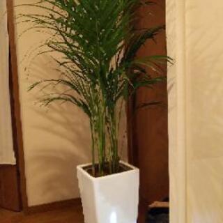 観葉植物 【値下げします】 アレカヤシ+白い化粧石と活力剤2本