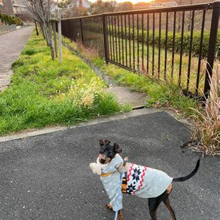 ミニピン×トイマン MIX犬