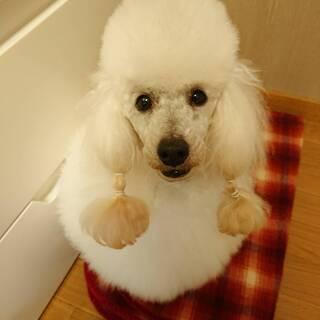 トイプードル アイスホワイトの男の子 性格抜群 6歳 人も犬も大...