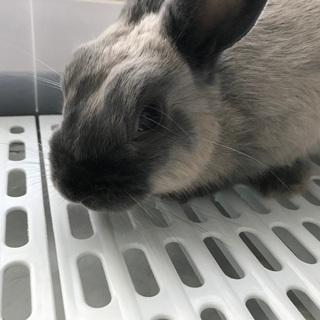 ミニウサギ×ネザーランド  生後7ヶ月です。
