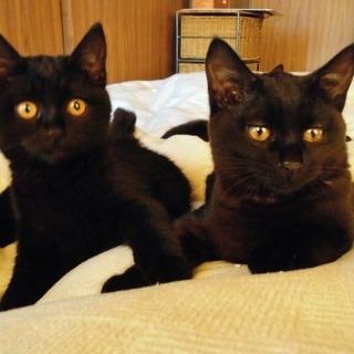 兄妹一緒に★自称黒猫界NO.1の美猫 ぶぅぶ♀