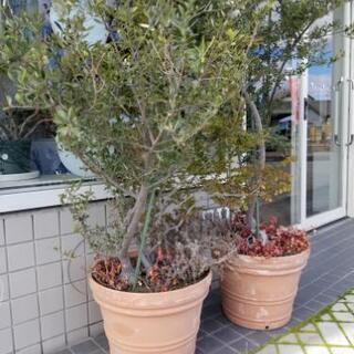 オリーブの木🌲
