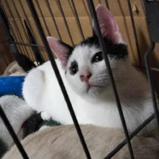生後4~5ヶ月の子猫の里親さん募集‼️去勢手術済み。