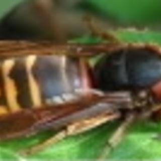 スズメバチ、蜂の巣駆除、害虫駆除、害鳥駆除ならお任せ下さい!★...