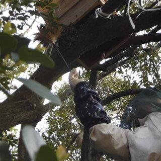 日本蜜蜂の分蜂した蜂玉 捕獲します🐝