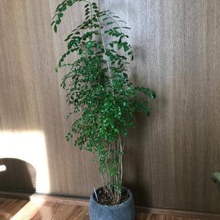 お取引中 観葉植物 シマトネリコ