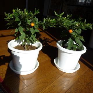 フユサンゴ(冬珊瑚) 実が緑→黄色→オレンジ→赤と変化 2鉢セット