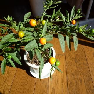フユサンゴ(冬珊瑚) 実が緑→黄色→オレンジ→赤と変化 1鉢