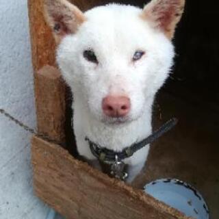 白の柴犬二歳女の子