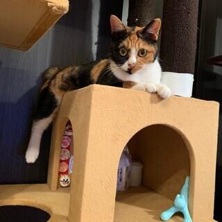 マダラが魅力的な三毛猫