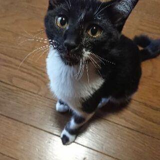 10月9日産まれ 白黒のハチワレ猫ちゃんと黒ぶちちゃん - 里親募集