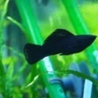 ブラックモーリー  大人3匹 稚魚4匹