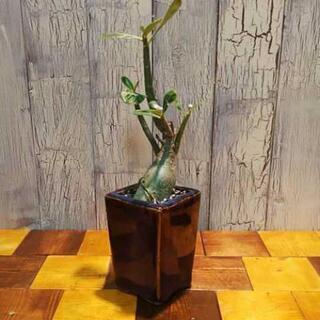 【観葉植物】アデニウムオベスム