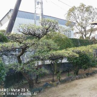 【庭木 植木】【価格応談】 松 マツ まつ  門構え 門かづき