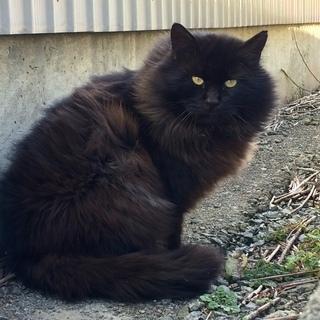 超フワフワでカッコイイ長毛オスの成猫さんです