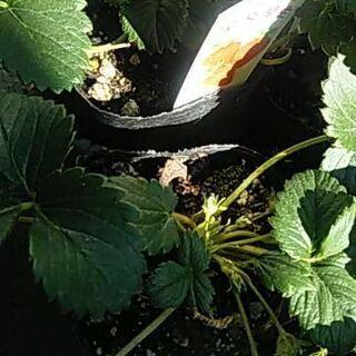 イチゴ苗9個セット品種宝交早生