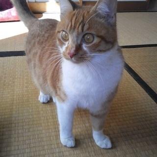 茶白のイケメン(さくら猫)の里親様募集