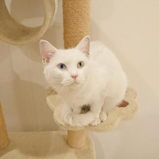 オッドアイの、少しグレーがかった白猫ちゃん