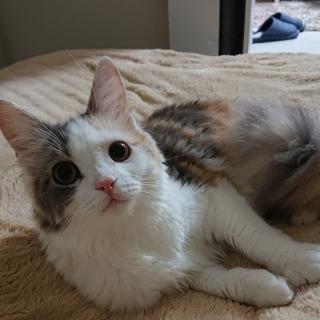 サイベリアン(雌)10ヶ月 三毛猫