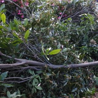 しいたけ栽培のホダ木