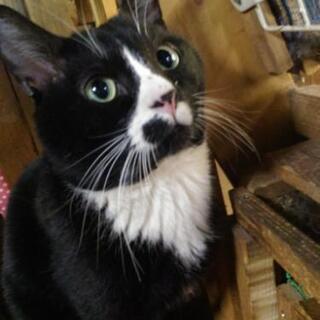 はちわれの子柄な黒猫♂です! 里親さん急募!