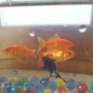 金魚★4匹