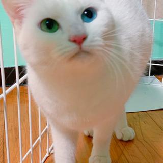 白猫オッドアイ♀(トライアル中)
