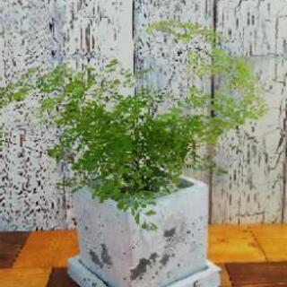【観葉植物】アジアンタムフラグランス