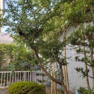 植木 庭の木 植物 ピラカンサス