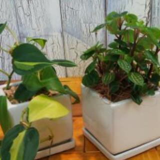 【観葉植物】  2個セット