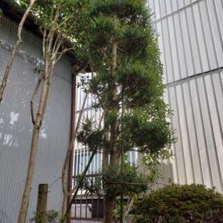 植木 庭の木 植物 槇