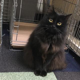 モフモフの黒猫の家族になってください。