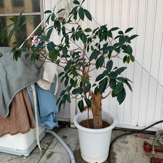 植木!ガーデニング 本物の木です(o^^o)
