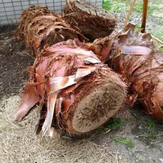 2月28日まで期間限定 ヤシの丸太 木片