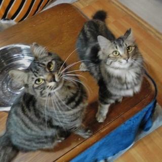 里親さま決定! 無敵兄妹★史上最強の美猫現る オベッタ♀ 8ヶ月前後