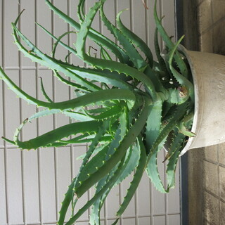 キダチアロエ 鉢底から60cm 3苗