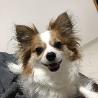 パピヨン×チワワのMIX犬です!いっぱいかまってあげられる方お願...
