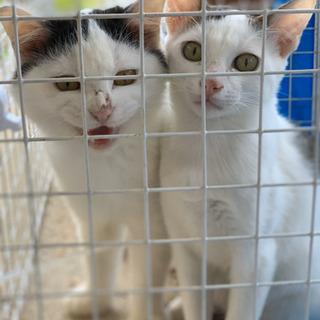 オス猫2匹飼ってくれる方を探しています