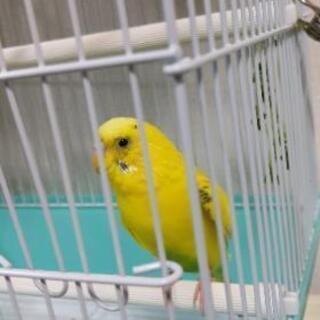 黄色のセキセイインコです(^^♪