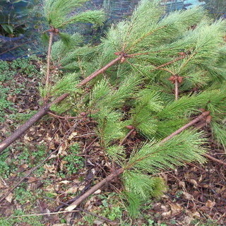 剪定した 松の枝 焚き火用に差し上げます。