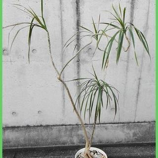 珍しい観葉植物⁂ドラセナ・コンシンネ⁂おしゃれな曲がり樹形…