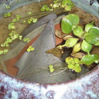 メダカの 漁礁 割れた瓦 あります。 水の浄化に!