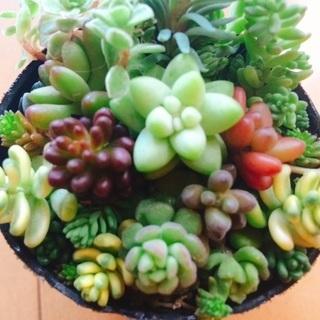 【多肉植物】セダム寄せ植え&葉挿しセット