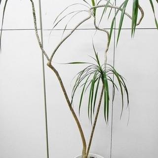 枝曲がりがオシャレな観葉植物⁂ドラセナ・コンシンネ⁂8号白鉢付