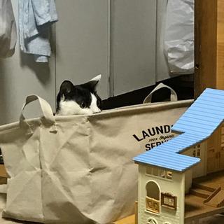 白黒猫3歳メス里親募集