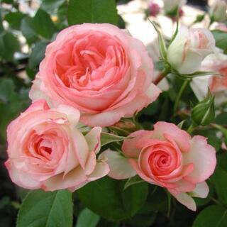 ポットローズ  ホワイトピーチオベーション  2苗セット  薔薇...