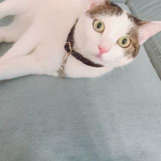 白黒 模様の雑種猫 里親募集