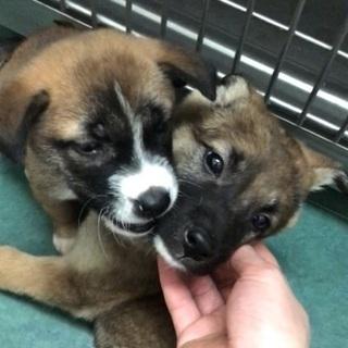 中型雑種の子犬兄弟が動物病院でご縁を待っています🐶僕達と家族にな...