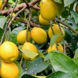 🍋採れたて無農薬レモン大玉Lサイズ5個セット🍋神山産🍋